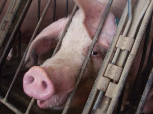 02_19_13_opinion_factoryfarming_cred_humanesociety_1-300x225